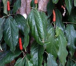 10 Seeds of Piper Peepuloides - Long Pepper - $15.83