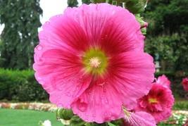 40 Pink Large Single Hollyhock Flower Seeds - $3.99