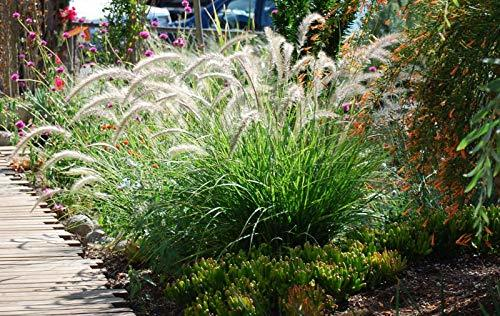 White Fountain Grass - 5 Live Plants in 6 Inch Pots - Pennisetum Setaceum - Easy - $107.88