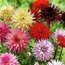 Dahlia Cactus Mix Flower Seeds (Dahlia Variabilis) 30+Seeds - $5.92+