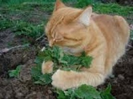 20Pcs Catnip Grass Fresh Seeds Ready to plant in your garden or pots - $15.94