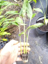 "Tasty Thai Ginger Galanga Plant, Rhizome, and Roots 6-8""  3 plants FREE ... - $18.37"