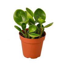 "1 Live Plant - Peperomia Thailand 4"" Pot #HPS13 - $28.99"