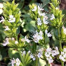 100 Seeds White Flowered Hyssop - $19.96