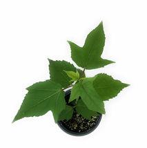 "1 Live Plant in 4"" Pot - Mimi Hibiscus Moscheutos #TFPN16 - $34.99"