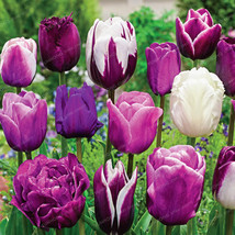 10pcs/pack Tulip Bonsai High-Grade Flower Bonsai Most Beautiful purple - $1.99