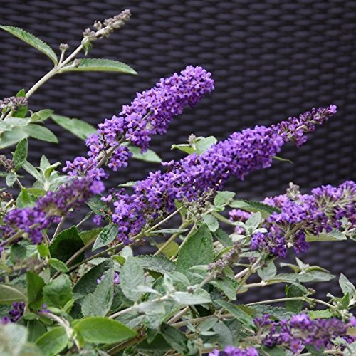 Primary image for Starter Plant Buddleia Blue Butterfly Bush