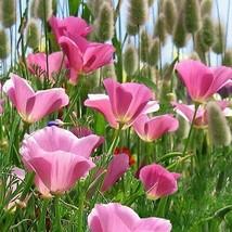 SHIP From US Poppy Purple Gleam Flower (Eschscholzia Californica) 200+Seeds UTS2 - $24.99