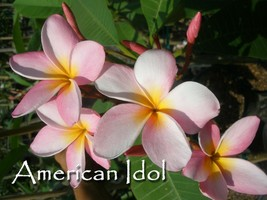 American Idol Rare & Exotic very fragrant Hawaiian Plumeria Frangipani cutting - $10.95