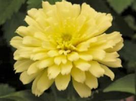 250 Pcs Seeds Zinnia Elegans Isabellina Pastel Light Yellow Double Flowe... - $16.00