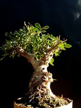 Bonsai - Giant Pistacia lentiscus - Approximately 30 years old plant - $363.84