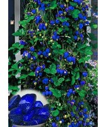 2lot- 500pcs Blue Climbing Strawberry seeds tree Seed,very delicious Fru... - $12.00