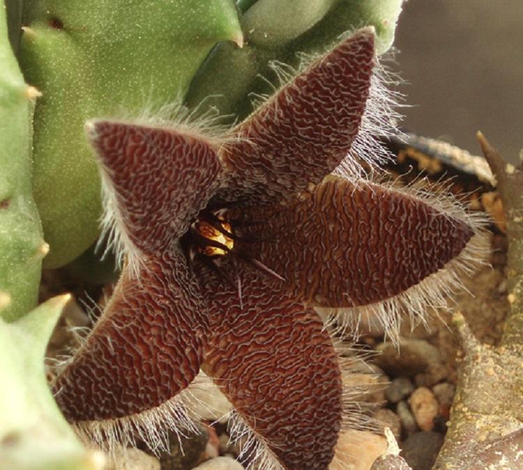 STR Garden - 100 pcs Stapelia Olivacea Lithops Succulents Raw Stone Cactus plant