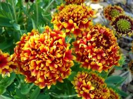 30 Gallardia double flower Seeds Gaillardia flower Blanket Flower Seeds - $4.99