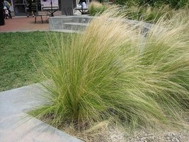 1 Starter Plant Of Mexican Feather Grass - Pot - $33.46