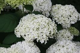 1 Starter Plant Hydrangea 'Annabelle'  - $24.75