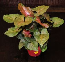 "House Plant Syngonium Plum Allusion Arrowhead Shipped in 4"" Pot Tropical  - $35.19"