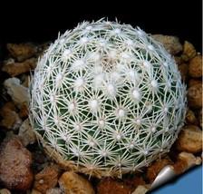 100Pcs Rare Ball Cactus Succulent Plant Bonsai Celestial Flower Seeds - $8.74