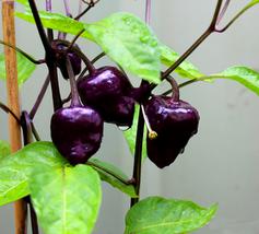 30pcs 'Purple UFO' Purple Hot Chilli Seeds,Delicious Edible IMA1 - $14.97