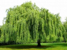 35 Weeping Willow Tree Cuttings Green Garden Beauti Home - $30.39