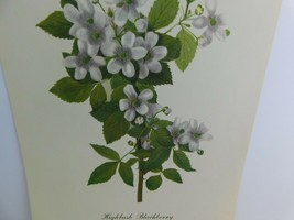 VTG Highbush Blackberry (Rubus Argutus)  9x12 Frameable Print Nature Flower - $11.28