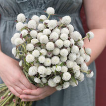 Audray White Gomphrena Flower Seeds - $8.99