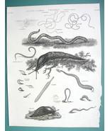 SLUGS Flatworm Vermes Genus Gordinus Nightcrawler - 1820 ABRAHAM REES Print - $12.24