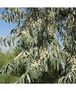 Russian Olive Tree Seeds (Elaeagnus Angustifolia) 20+Seeds - $40.46