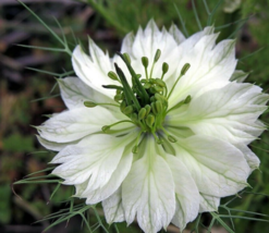 50 Pcs Seeds Damascena Love In A Mist Black Pod White Red Nigella Flower... - $16.00