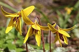 10 Pcs Seeds Yellow Pagoda Hardy Violet - Shade Perennial HH01 - $15.99