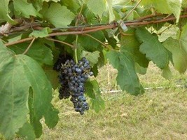 Black Manukka Seedless Grape Vine 1 gallon Live Plant Home Garden Easy t... - $33.90