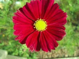 300 Seeds - Wine Red Tetra Versailles Cosmos Bipinnatus Hummingbird #SFB15 - $17.99