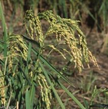 SHIPPED From US_Rice Seeds, Long grain 5 lbs -WB - $468.99
