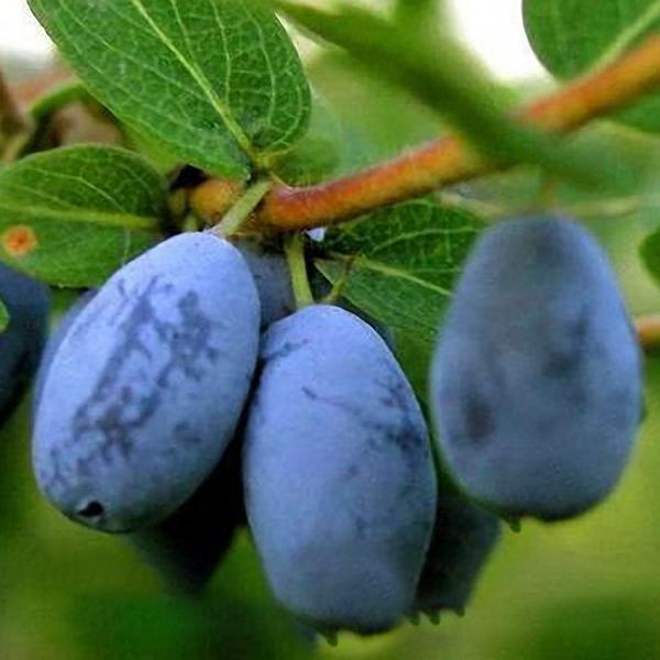 Egrow 200Pcs/Pack Lonicera Caerulea Fruit Seeds Home Garden Plants Honeyberry Bl image 4