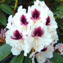 50 pcs Flower Japanese Azalea Rhododendron  - $14.90