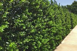 Nellie R. Stevens Holly Tree-3 pack image 2