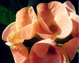 Best Price 100 Seeds Euphorbia Milii Hybrid Middle,Diy Flower Seeds DL111C Dg - $5.24