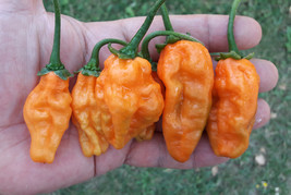 Carbonero - 20 quality organic hot chili pepper seeds - $2.95