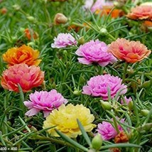 100 Double Mix Moss Rose Seeds Flower Perennial Flowers Seed  - $14.88