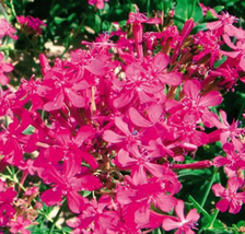 50pcs Very Admirable Dwarf Sharon Flowers Seeds IMA1 - $13.99