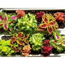 50 Seeds Mix Colors Blumei Seeds Flower Seeds - $2.99