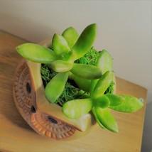 """Golden Sedum Succulent in Ceramic Owl Planter, Live Plant, 2.5"""" Animal Pot image 3"""