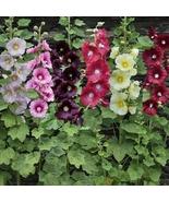 20 Mix Dwarf Hollyhock Majorette Flower Seeds - $7.95