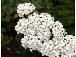 SHIP From US, 19K Seeds White Yarrow, DIY Decorative Plant ZJ - $24.66