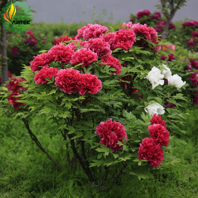 BEST PRICE 'Hot Fire' Red Wrinkled Peony Tree Seeds, 5 Seeds DIY HOME GARDEN LG