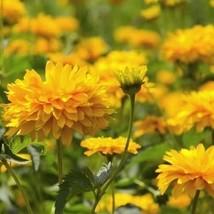 Gaillardia Sundance Yellow Flower Seeds (Gaillardia Pulchella) 50+Seeds - $5.43+