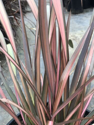 Primary image for Live 5-gallon Plant Phormium Pink Panther NEW ZEALAND FLAX