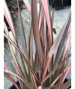 Live 5-gallon Plant Phormium Pink Panther NEW ZEALAND FLAX - $37.05