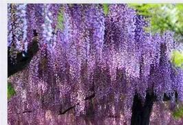 10 Pcs Wisteria plants Beautiful Bonsai Indoor (5), HZ Beautiful Flower ... - $8.89