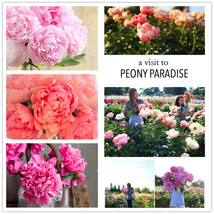 True Peony Flower seeds,tree peony,for great varieties,chinese style for... - $9.23